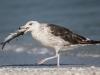 Ring-billed Gull - Florida