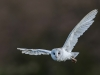 Barn Owl in flight Norfolk