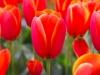 2_Tulips Keukenhof
