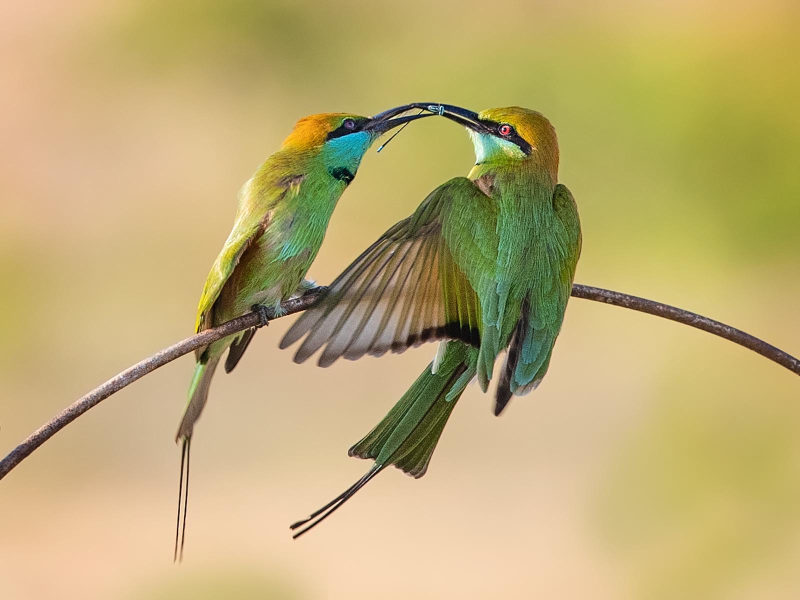 Little Green Bee-Eater, Sri Lanka