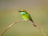 Little Green Bee-Eater, Sri Lanka