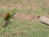 Bee-Eater-Little-Green-Yala-National-Park
