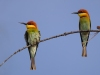 Chestnut-headed Bee-Eater, Thailand