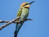 Rainbow Bee-Eater, Western Australia