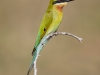 Blue-Tailed-Bee-Eater