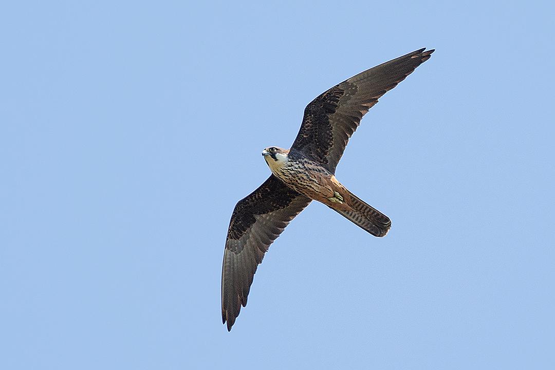 Eleonoras Falcon, Spain