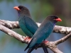 Dollarbirds, Langkawi, Malaysia