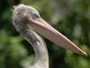 Spot Billed Pelican, Kuala Lumpur, Malaysia