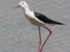 Black Winged Stilt, Spain