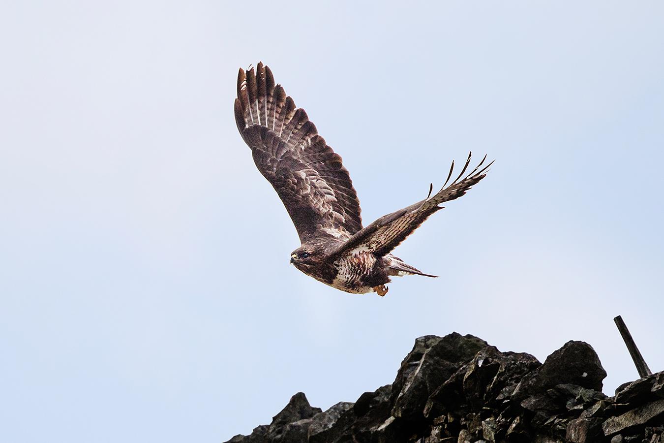 Common Buzzard, Rusland Valley, Lake District