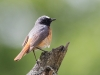 Redstart, Borrowdale