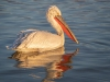 Dalmatian Pelican, Northern Greece