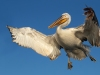 Dalmatian Pelican, Northern Greece
