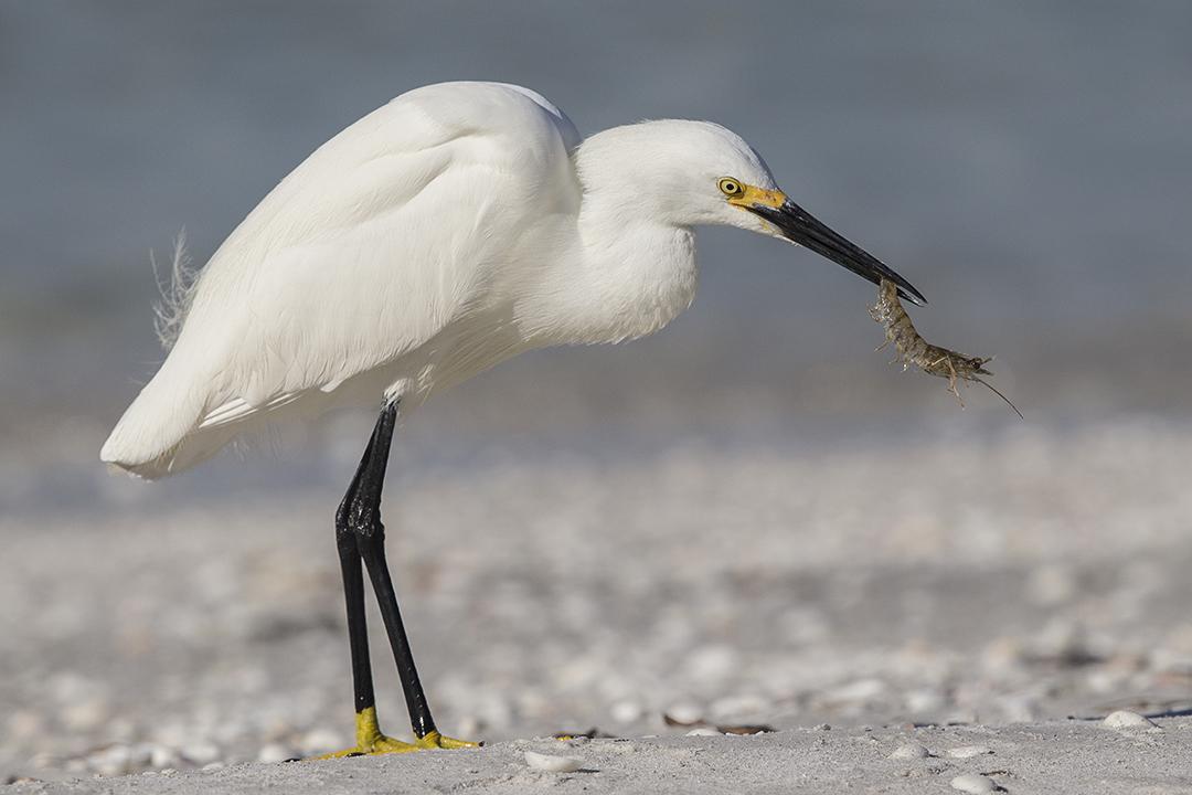 Egret, Snowy - Florida