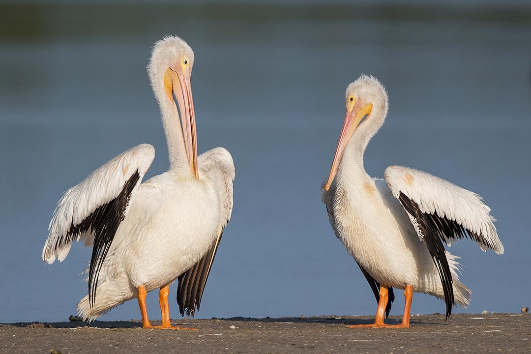 American White Pelicans - Florida