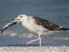 Ring-billed Gull - Florida