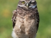 Burrowing Owl - Florida