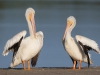 American White Pelicans - Florida