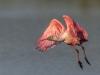 Roseate Spoonbill - Florida