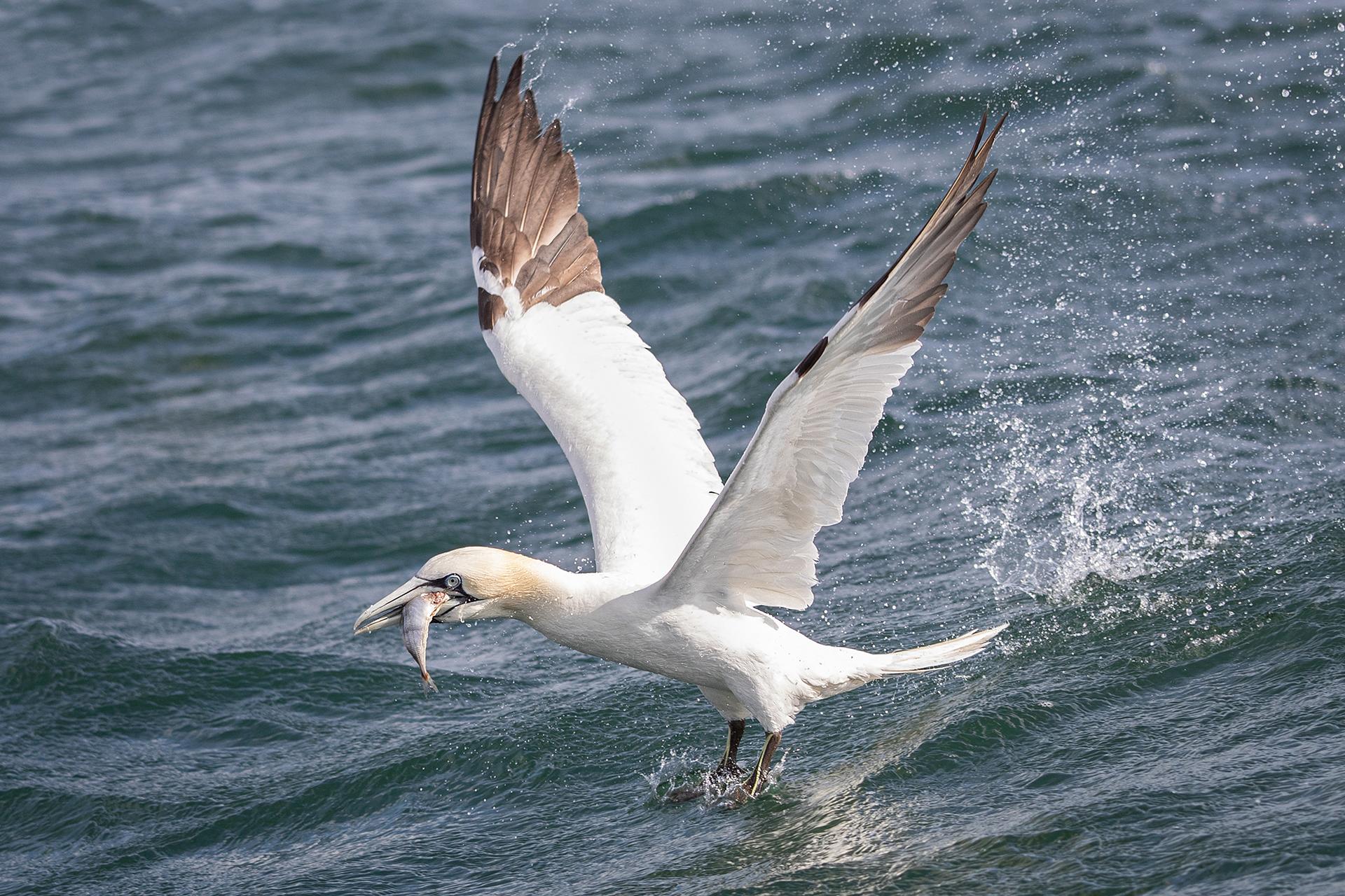 Gannets, Flamborough Head, Yorkshire