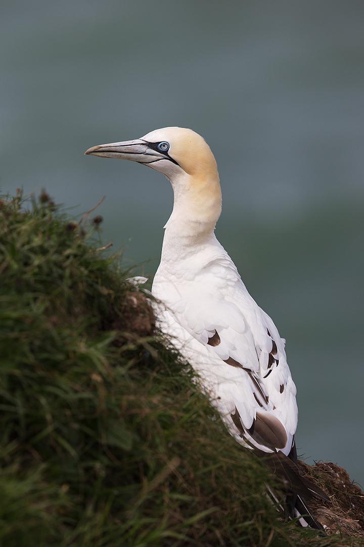 Gannet - Yorkshire