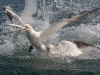 Gannets, Flamborough Head, Yorkshire