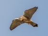 Kestrel - Dee Estuary