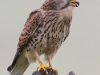 Kestrel - Yorkshire