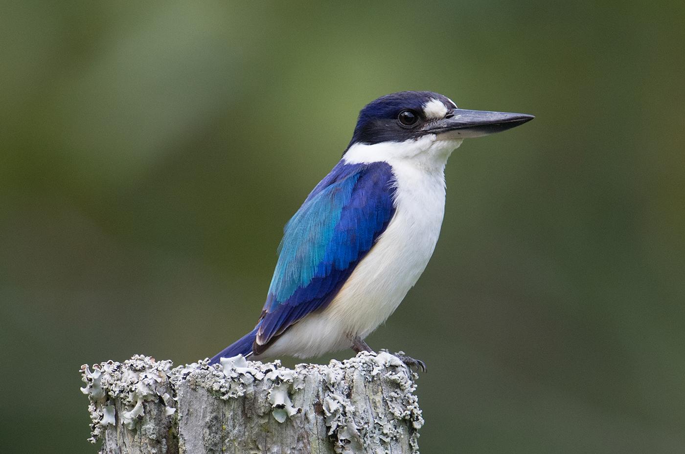 Forest Kingfisher, Australia