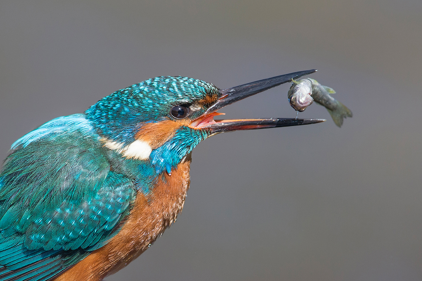 Common Kingfisher, UK