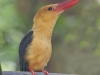 Brown-Winged Kingfisher, Thailand