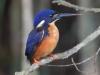 Azure Kingfisher, Australia