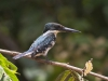 Belted Kingfisher, Costa Rica
