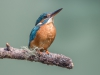 Common Kingfisher, UK