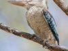 Blue-winged Kookaburra, Australia