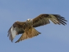 Red Kite - Wales