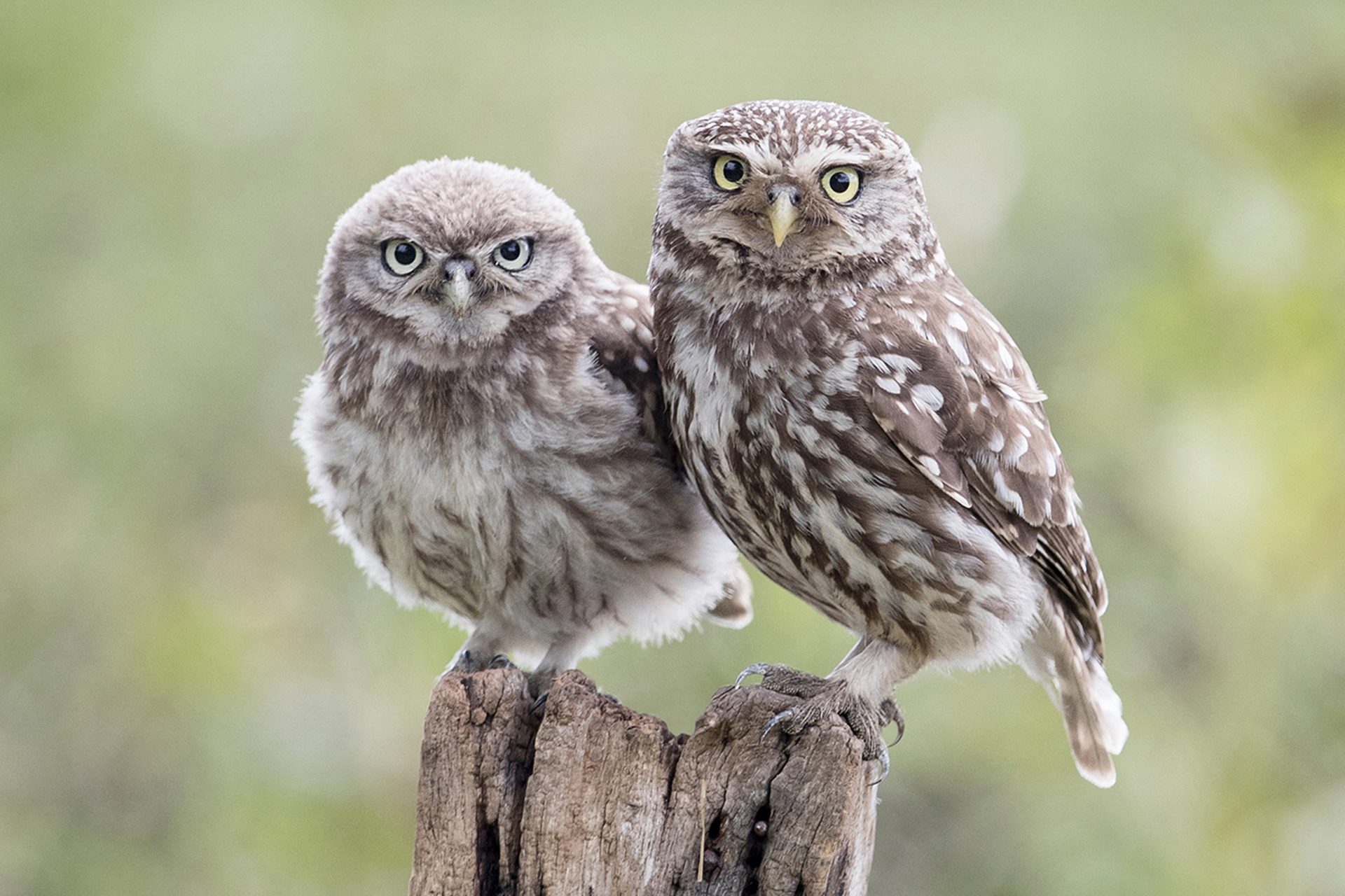 Little Owl and Owlet, Yorkshire