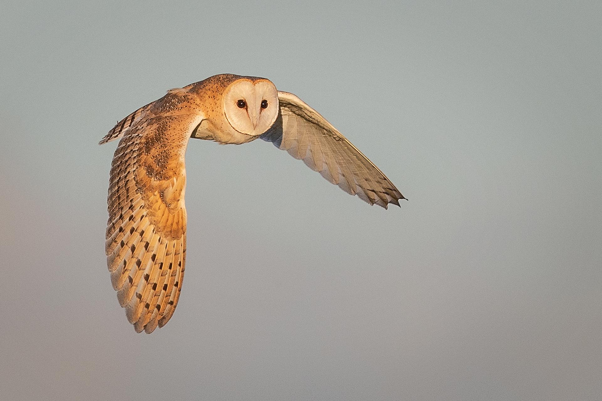 Barn Owl, Norfolk