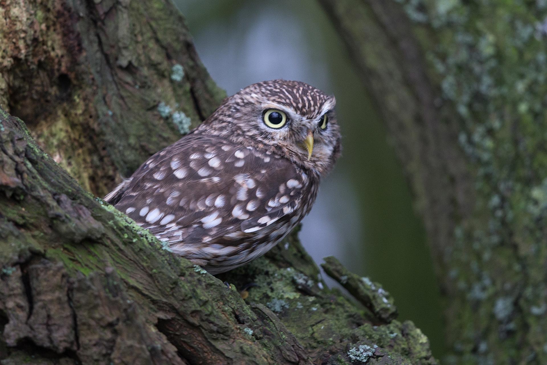 Little Owl, Staffordshire
