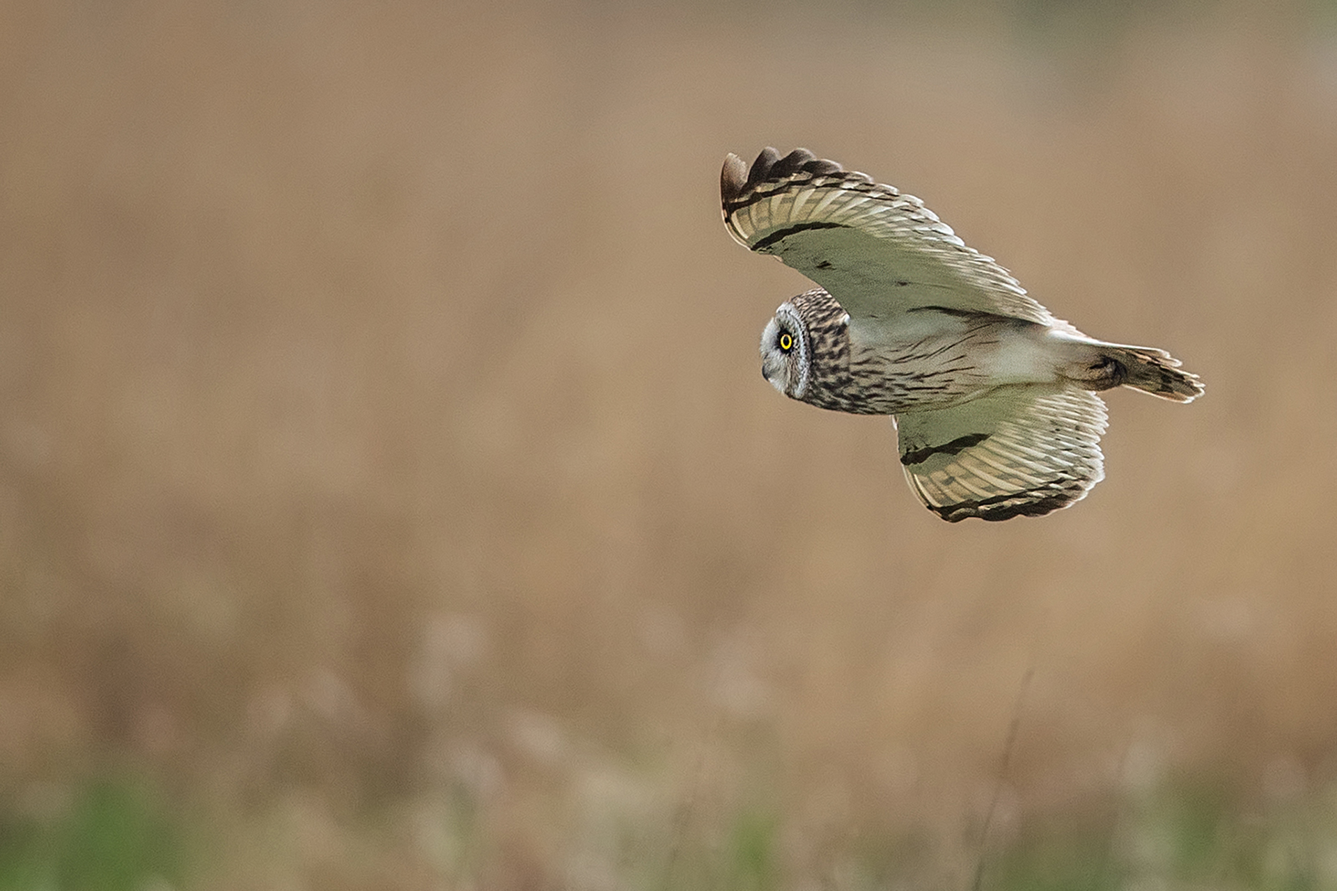 Short Eared Owl, Wirral