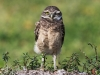 Burrowing Owls Florida