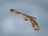 Short Eared Owl, Rainham Marshes