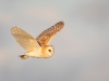 Barn Owl, Norfolk