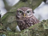 Little Owl, Staffordshire