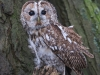 Tawny Owl, Staffordshire