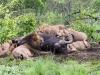 Lion and Buffalo