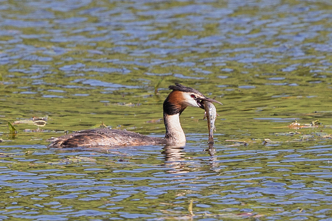 Great Crested Grebe feeding - Yorkshire