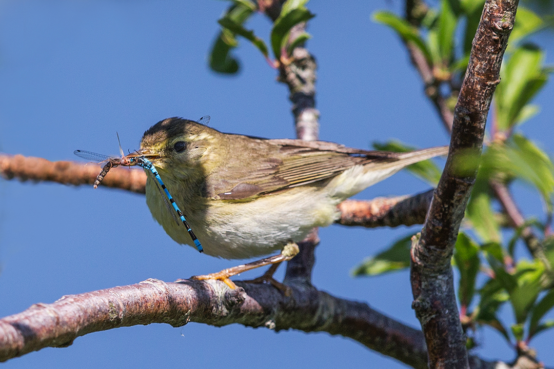Willow Warbler - Anglesey