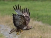 Common Buzzard - Wales