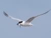 Sandwich Tern - Anglesey